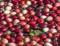 Cranberry-0189
