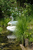 Swans-39
