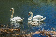 Swans-0011-Edit-Edit-2