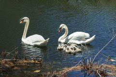 Swans-0011-Edit-Edit-Edit-Edit