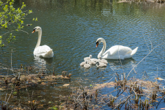 Swans-0013