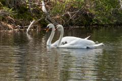 Swans-0039-Edit