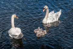 Swans-1015-Edit-2-Edit