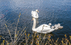 Swans-1024