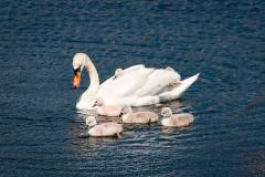 Swans-1081-a-Edit