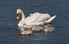Swans-1081-a