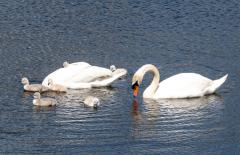 Swans-1083