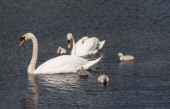 Swans-1104