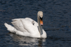 Swans-1116
