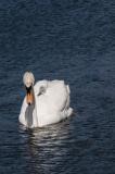 Swans-1127