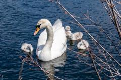 Swans-1140