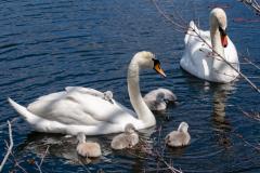 Swans-1144
