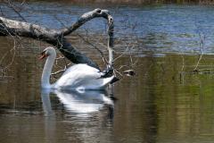 Swans-1262