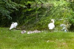 Swans-1572