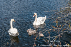 swans-1015-edit-3jpg_16483308921_o