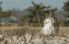Snowy-Owl-1075-Edit
